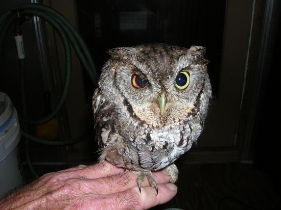 recuperating owl
