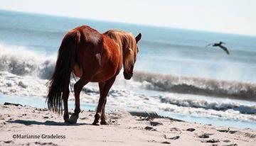 beachhorse