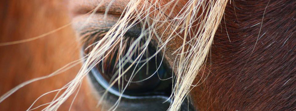 corolla's wild horses: curiosity and controversy