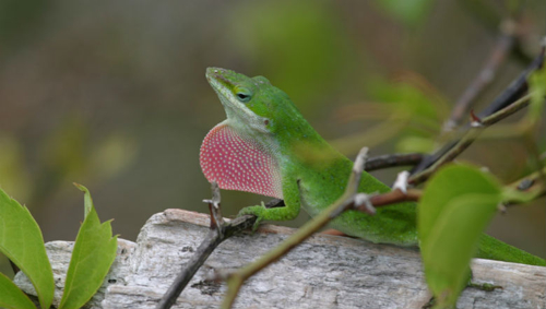A male green anole flashes his brightly colored dewlap to attract a mate.