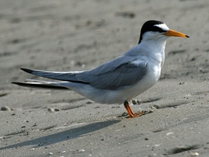 Least Tern. The species is not considered threatened or endangered.