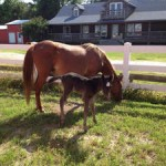 crippled colt saved by corolla wild horse fund