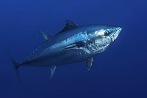 Atlantic bluefin tuna.