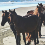 could gus be the key to the wild horses' survival?
