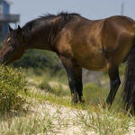 corolla wild horses in danger from development?