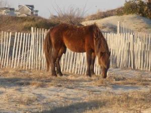 stallion eating grass