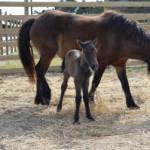 meet the newest ocracoke pony!