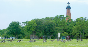 geese at Currituck Light