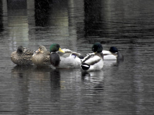 Ducks at Sandy Run Park in Kitty Hawk. The white flecks in the image are snow flakes. Photo Kip Tabb