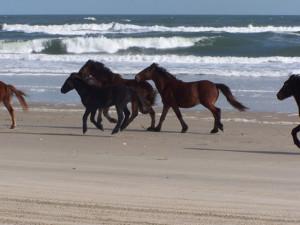 Corolla Wild horses on the beach. Photo, Corolla Wild Horse Fund.