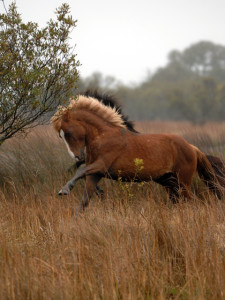 Wild Horses of Corolla are a direct genetic link to the mustangs of the Conquistadores. Photo Corolla Wild Horse Fund.