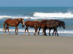 Herd of Corolla Wild horses on the Carova Beach--part of the area of the land swap between USFW and Currituck County. Photos, CWHF
