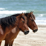 protecting the wild horses of corolla