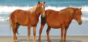 Colonial Spanish Mustangs on the beach in Carova. Photo, Corolla Wild Horse Fund.