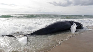 Strandings of whales on Outer Banks beaches are increasing, although no one is sure why.