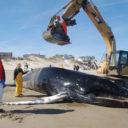 the mystery of obx whale strandings
