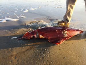 Giant Squid on beach at Portsmouth Island. Photo, Carey Walker