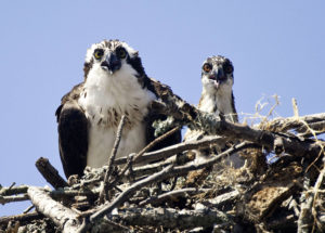 Henry the Osprey looks over the situation while a young osprey looks on. Photo Eve Turek.
