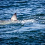 12.5 ft great white shark pinging off OBX