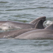 outer banks dolphins take center stage