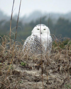 Difficult to spot because it blends so well with its background, the snowy owl has returned to the Outer Banks. Photo Peter Vankevich.