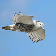 snowy owls return to obx