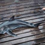 """small"" great white shark hanging around obx"