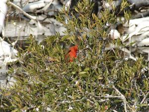 Cardinal at Sandy Run. Photo by Kip Tabb