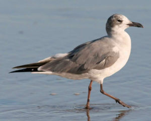 Laughing Gull. Although not common during an Ocracoke winter, a few are usually present on Ocracoke Island. Photo National Audubon Society.