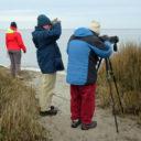 ocracoke shorebird mystery