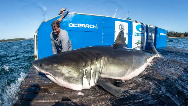 Great Whites Ping Off Obx Coast Hidden Outer Banks